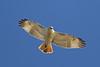 Red-tailed Hawk (Krider's) (Alan Gutsell) Tags: redtailed hawk kriders redtailedhawk raptor birdofprey anahaucnwr naturephoto nationalpark texasbirds texas gulf coast alan
