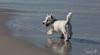 2017 - 11_25 - Animals - Dogs - Sushi_Angus 02 (stevenlazar) Tags: largs beachwater sand northhaven puppy 2017 ocean australia dog water animals adelaide white southaustralia scottishterrier