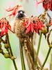 Speckled Mousebird/Colius striatus (odileva) Tags: lakebunyonyi august oiseaux bird lake speckledmousebirdcoliusstriatus uganda nature ndorwa westernregion ouganda ug
