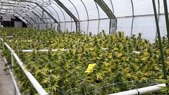20150508_113231 (CannaPsy) Tags: cannabis medicalcannabis medicalmarijuana weed ganja medicine greenhouse lightdep cleanmeds soil caliweed collective prohibition warondrugs