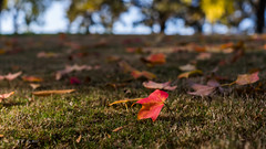 叶子红了,回到大地的怀抱 (幻影留梦) Tags: fall color leaf yellow red green tree trunk season autumn 2017 takumar 50mm f14 smc m42 chattanooga national cemetery