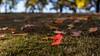 叶子红了,回到大地的怀抱 (幻影留梦) Tags: fall color leaf yellow red green tree trunk season autumn 2017 takumar 50mm f14 smc m42 chattanooga national cemetery