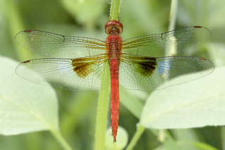 Coral-tailed cloudwing (Male dragonfly)