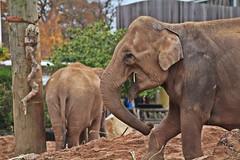 IMG_0809 (jaybluejeans94) Tags: chester zoo elephant elephants wild nature animal animals chesterzoo