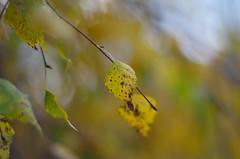Autumn feeling (Baubec Izzet) Tags: baubecizzet pentax bokeh autumn nature yellow leaves flickrunitedaward