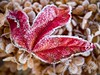 Frosty Red Leaf (Deibertography) Tags: chilly closeup cold frost frosty leaf macro maple nature outdoors red weather