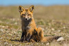 Red Fox Kit (Vulpes vulpes) (bcbirdergirl) Tags: redfox usa washington vulpesvulpes love happiness joy fox kit