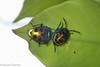 Chrysocoris sp. (Jewel Bug) - Adult and Nymph (GeeC) Tags: animalia arthropoda cambodia chrysocoris hemiptera insecta kohkongprovince nature pentatomoidea scutelleridae shieldbackedbugs tatai gallery
