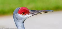 crane up close (mylesfox) Tags: crane closeup