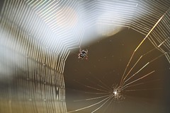 Spider Weaving Web (awdylanis) Tags: spider cobweb orb orbweaver spinyorbweaver sunlight morning sunrise gasteracantha spinybacked orbweavers spinybackedorbweavers skull back weaving garden mygarden florida red black white