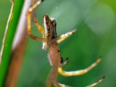 Plebs bradleyi - Enamelled Spider (paulgeorge6) Tags: spider australia victoria macro plebs bradleyi vermontsouth araneinae