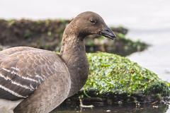 Brant Goose (jessicaweinbergmcclosky) Tags: brant brantabernicla hudsonriver manhattan newyork washingtonheights birds geese goose