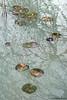 Nymphea (waellerwildlife) Tags: seerosen seerose nymphaea waterlilies waterlily nøkkerose näckrossläktet lumpeet grzybienie alpenrod hachenburg kaolin tongrube kaolingrubeböhmsfund westerwald waellerwildlife wällerwildlife wolfgangburens burens herbst autumn porzellanerde porzellanton weisetonerde bolusalba pfeifenerde november
