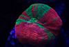 8A0A9220 (ct_purley) Tags: canon 5d mark iv aac advanced aquarium consultancy reef tank saltwater corals scolly
