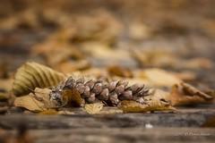 L'autunno ha più oro in tasca rispetto a tutte le altre stagioni.... (Debora Statuto) Tags: autunno pigna colore giallo bokeh macro pinecone wood autumn fall light