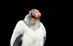 King Vulture (Sarcoramphus papa) (3JKSQHSK5SQTE7SWUYDYF7V3Q4) Tags: africa animal animalbodypart animaleye animalhead animalwildlife animalwing animalshunting beak bird birdofprey blackcolor brown closeup feather kingroyalperson large looking lookingatcamera multicolored nature orangecolor photography red scavenging south standing usa vertical vulture whitecolor