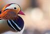 Mandarin duck portrait (Zoltán Győri) Tags: zoltangyori győrizoltán mandarinduck aixgalericulata bird birdphotography portrait colors