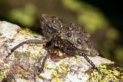 Weevil (Poropterus sp.) (jgruber111) Tags: poropterus curculionidae coleoptera weevil beetle insect macro entomology