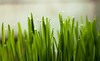 Sprouted wheat seeds (Octav Vladu) Tags: natural plant green wheat indoor farm seeds sprouts harvest organic