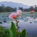 Flowers in the morning by the lake of River Kwai Park & Resort in Kanchanaburi, Thailand thumbnail