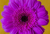 Gerbera (frankmh) Tags: plant flower gerbera macro hittarp sweden indoor