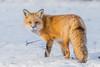 Fox in snow (Sammyboy77) Tags: redfox renardroux vulpesvulpes sammyboy77 winter