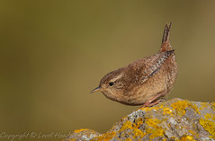 Wren on a rock - (Troglodytes troglodytes) 'Z' for zoom (hunt.keith27) Tags: troglodytestroglodytes wren jenny log somerset tiny quick outdoor animal feathers wing insects spiders short round wings bird grass food wood brean rock fiesty