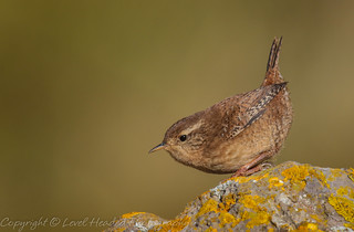 Wren on a rock - (Troglodytes troglodytes) 'Z' for zoom