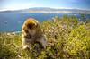 Oh Nutz (RoamingTogether) Tags: 70200vrii barbaryape barbarymacaque europe gibraltar hdr macaque magot nikon nikon7020028 nikond700 rockofgibraltar