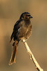 Dicrurus adsimilis (Fork-tailed Drongo) - South Africa (Nick Dean1) Tags: dicrurusadsimilis drongo forktaileddrongo animalia chordata aves thewonderfulworldofbirds birdperfect birdwatcher bird southafrica krugernationalpark satara