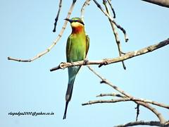DSC00649 Blue-tailed Bee-eater (Merops philippinus) (vlupadya) Tags: greatnature animal bird aces fauna indianbirds bluetailed beeeater merops kundapura karnataka