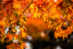 Here Today, Gone Tomorrow (moaan) Tags: kobe hyogo japan jp maple mapleleaves japanesemaple autumn fall autumncolors autumnleaves fallcolors fragile fleeting dof bokeh bokehphotography nature naturephotography utata 2017