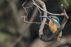 ALP_7301 (avalon8174) Tags: alcedoatthis kingfisher