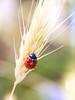 beautiful_lady (AnteKante) Tags: grass miniatur mini insekt silentworld insect natur käfer gras grün macro rot bug red punkte green dots ladybug marienkäfer stillewelt