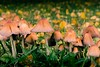 Autumn mushrooms (Niksuski) Tags: tampere mushrooms bokeh sharp nikond7200 sigma1835f18 finland europe northerneurope pirkanmaa creativecommons noncommercialuse freetouse attribution noderivatives autumn fall