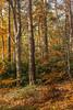 Autumn (markhortonphotography) Tags: ivy autumn lakeroad rich macro tree markhortonphotography nature surreyheath deepcut beech seasonal fall surrey colour