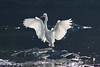 193.jpg (Kico Lopez) Tags: miño lugo spain galicia birds garcetagrande rio ardeaalba aves