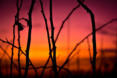 Sticky Silhouettes (324/365) (iratebadger) Tags: nikon nikond7100 nature nikonphotography nikkor england eastridings evening sky silhouette shadows sundown sunset plants outside outdoors orange pink purple black blur d7100 dark colours colors iratebadger project365
