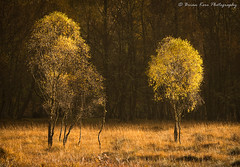 The Young Ones (.Brian Kerr Photography.) Tags: scotland scottishlandscapes scottish scottishhighlands scotspirit scottishlandscape sony sonyuk a7rii 70200mm photography photo landscapephotography landscape naturallandscape landscapes nature natural outdoor outdoorphotography opoty tree birches autumn beautifulmorning availablelight golden colour beautiful briankerrphotography briankerrphoto wood forest grass