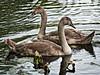 Swan Lake (MrBlueSky*) Tags: cygnet swirl bird waterfowl nature outdoor water aquaticbird kewgardens royalbotanicgardens london aficionados pentax pentaxart pentaxlife pentaxk1 pentaxawards pentaxflickraward