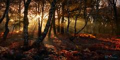 Golden Sherwood Forest (Dave Massey Photography) Tags: sherwoodforest nottinghamshire sunbeams woodland