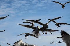 Gita a Howth (Dublino) - 007 (giannizigante) Tags: dublino howth irlanda porto gabbiani seagull pesca pescatori pesce