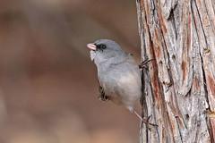 Dark-eyed Junco (Gray Headed) (Alan Gutsell) Tags: darkeyed junco darkeyedjunco gray headed sparrow emberizine santa fe newmexico alan nature photo wildlife