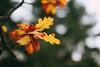 Autumn (Jonas Tana) Tags: autumn orange 50mm canon 5dmkiii bokeh f12 canonl leafs yellow flickr