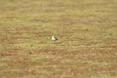 Little ringed plover (Venugopal Bsnl) Tags: venugopalbsnl serilingampally googleimages tickells blue flycatcher owl oriole owlet greenbeeeaters