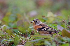 Brambling (zbackkcabz) Tags: brambling beautiful bird birds wildbird wildlife awesome amazing animal scene cool country cute nature naturewatcher outdoor