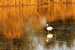 Autumn evening colors /Great White Egret /Florida (msimpson5) Tags: peaceful gulfcoast ocean color sunset canon reflecting reflections waterbird autumn florida greatwhiteegret nature wildlife water bird