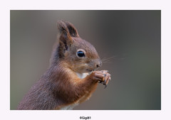 Ecureuil roux (gilbert.calatayud) Tags: ecureuil roux portrait sciurus vulgaris sciuridés rongeur arboricole eurasie laddo mazères ariège mammifère ngc