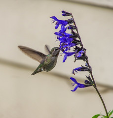Female Annas Hummingbird. (Day 314 / 365) (Wayne~Chadwick) Tags: sigma 50500mm