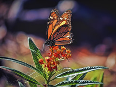 Munching Nectar 2 (Artypixall) Tags: sandiego balboapark monarchbutterfly flowers bush plant macro faa getty